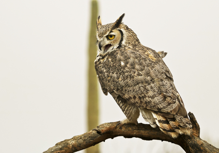 Photo for A Great Horned Owl, Bubo virginianus, Perched Against a White Sky - Royalty Free Image