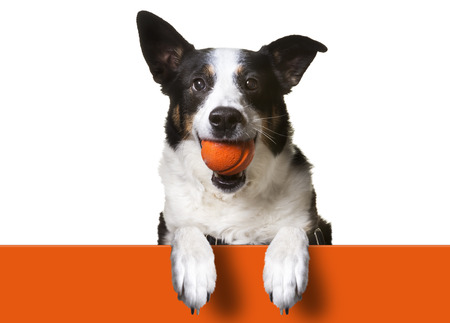Photo for Dog with paws over orange sign, holding orange banner. Border Collie/ Terrier Mix - Royalty Free Image