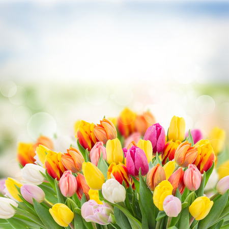 Photo for tulips in garden on  bokeh background with grass and sky - Royalty Free Image