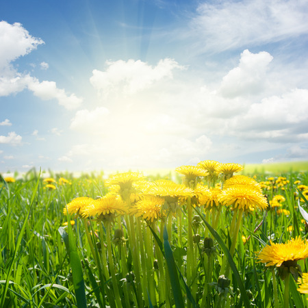 Photo for dandelion field - Royalty Free Image