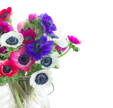 Fresh colorful Anemones fresh flowers bouquet close up isolated on white background