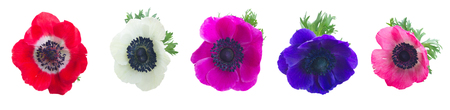 Heads of Anemones flowers isolated on white background