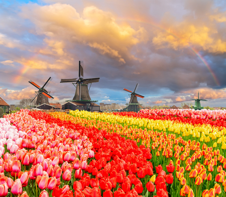 Photo pour traditional Dutch windmills of Zaanse Schans and rows of tulips under sunset sky with rainbow, Netherlands - image libre de droit