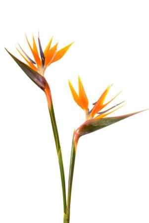 Photo pour Bird of paradise flower (Strelitzia reginae) isolated on white background - image libre de droit