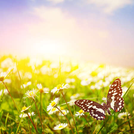 Photo for Butterfly on a daisy field - Royalty Free Image