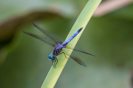 Photo pour Dragon fly with open wings, blue, green and black body sitting on a leaf - image libre de droit