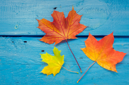 Foto de Autumn background with colorful fall maple leaves on blue rustic wooden table with place for text. Thanksgiving autumn holidays background concept. Frame with autumn leaves. Copy space. Top view. - Imagen libre de derechos