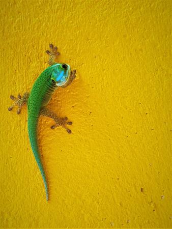 Foto de This image shows an endemic green Gecko from La Reunion island - Imagen libre de derechos