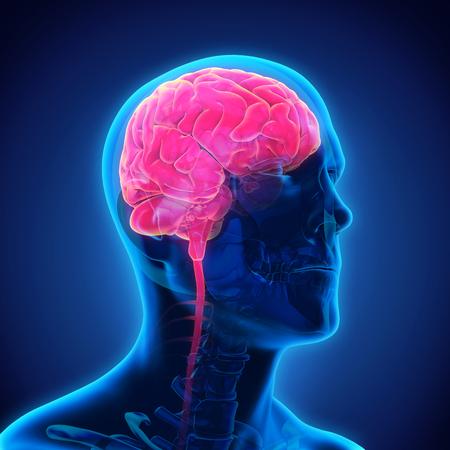 Foto de Human Brain Anatomy - Imagen libre de derechos