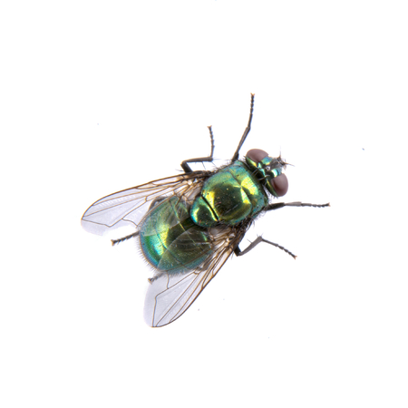 Green fly isolated on a black background