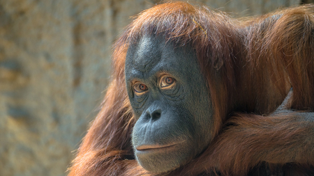 Foto de Portrait of sad Asian orangutan, adult - Imagen libre de derechos