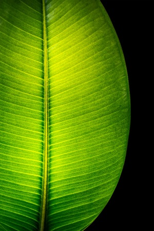 Photo pour Indian Ficus Elastica leaf illuminated with light through, isolated at black background, closeup, details - image libre de droit