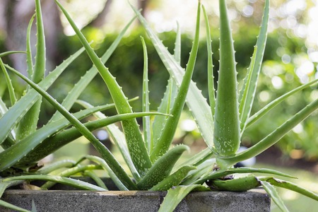 Photo for Close up Aloe Vera Plant, outdoor pots - Royalty Free Image