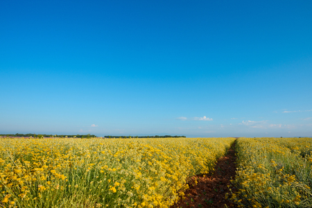 Photo for Helichrysum italicum field blooming in Provence France - Royalty Free Image