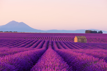 Photo pour Beautiful iconic old small French rural house in blooming lavender fields in Provence at sunrise. - image libre de droit