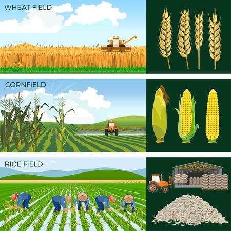 Illustration pour Set of agricultural fields- wheat, maize, rice. Vector illustrations. - image libre de droit