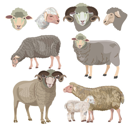 Ilustración de Set of sheep on white background. Vector illustration - Imagen libre de derechos