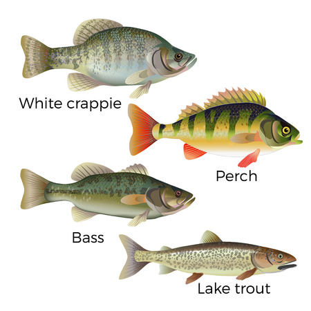 Ilustración de Freshwater fish set - white crappie, perch, bass and lake trout. Vector illustration isolated on white background - Imagen libre de derechos