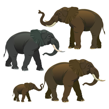 Collection of elephants isolated on a white background. Bull, cow and calf. Vector illustration