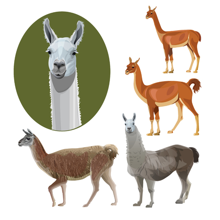 Set of South American animals: llama, guanaco, alpaca, vicuna. Vector illustration isolated on white background