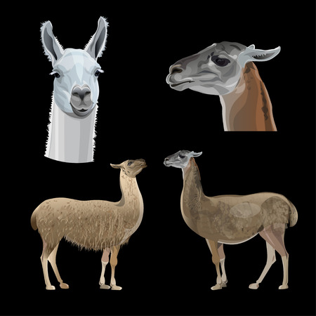 Set of vector llamas with head and full-length portraits. Vector illustration isolated on black background