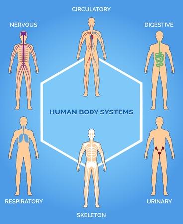 Illustrazione per Vector human body systems illustration - Immagini Royalty Free