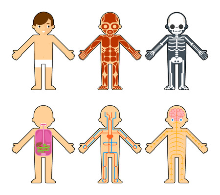 Illustrazione per Body anatomy for kids. The skeleton and muscles, nervous system and circulatory system infographics elements - Immagini Royalty Free