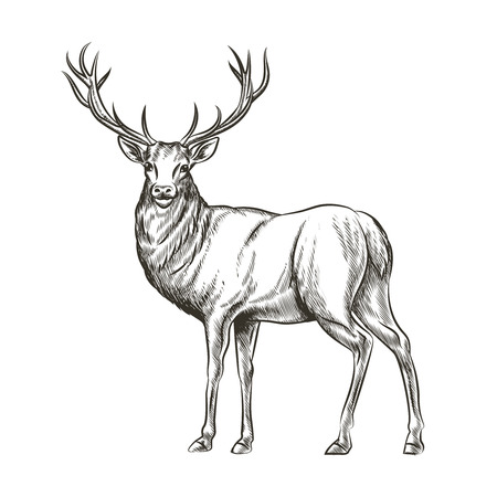 Illustration pour Hand drawn deer. Animal wild, horn and nature wildlife, mammal reindeer, horned antler, sketch vector illustration - image libre de droit
