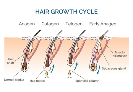 Illustration for Hair growth cycle. Hair cycle, science phase hair, human hair growth. Vector illustration - Royalty Free Image