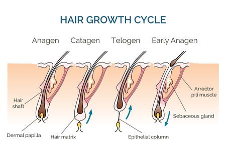 Ilustración de Hair growth cycle. Hair cycle, science phase hair, human hair growth. Vector illustration - Imagen libre de derechos