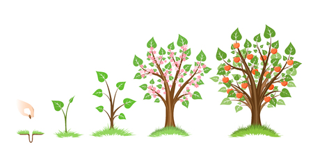 Illustration pour Apple tree growth cycle. Tree plant apple, cycle botanical, gardening growth fruit, natural apple, crop food, vector illustration - image libre de droit