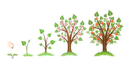 Ilustración de Apple tree growth cycle. Tree plant apple, cycle botanical, gardening growth fruit, natural apple, crop food, vector illustration - Imagen libre de derechos