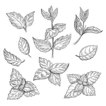 Ilustración de Mint hand sketch vector illustration. Peppermint engraved drawing of menthol leaves isolated on white background. Leaf herbal spearmint plant - Imagen libre de derechos