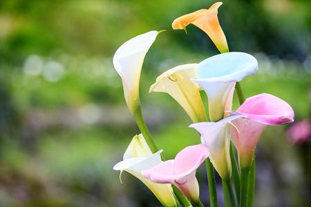 Foto de The beautiful Colorful Calla Lilies with nice background color - Imagen libre de derechos