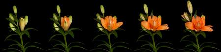Foto de Orange lily time lapse series. Studio shot over black. - Imagen libre de derechos
