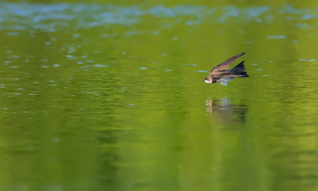 Photo pour Sand martin flying over the water edge - image libre de droit