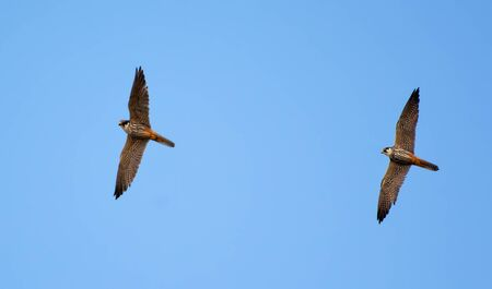 Photo for Adult Eurasian hobbies flying near their nest - Royalty Free Image