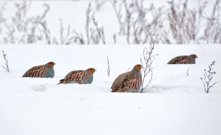Photo for Big flock of Gray Partridges - Royalty Free Image