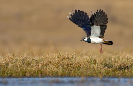 Photo pour Northern lapwing in flight over grass and ground with fully stretched wings - image libre de droit