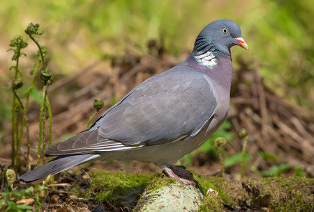 Photo for Common wood pigeon stands on an old mossy branch - Royalty Free Image
