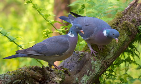 Photo for Family Pair of Common wood pigeons sits together on a big mossy branch with ferns - Royalty Free Image