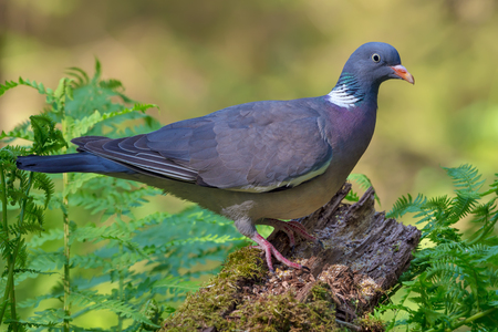 Photo for Bright colored Common wood pigeon perched on old branch with moss and ferns in forest - Royalty Free Image