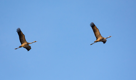 Photo for Pair of Common Cranes in sync flight with blue sky as background - Royalty Free Image