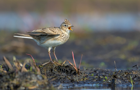 Photo for Male Eurasian skylark sings his spring song as he sits on the soil mount in field - Royalty Free Image