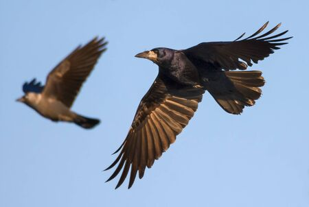 Photo for Shiny Rook swift flying in blue sky with spreaded wings feathers - Royalty Free Image