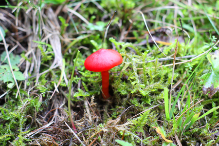 Photo for a red mushroom in the vegetation - Royalty Free Image