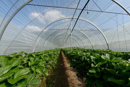 Foto de Growing strawberries in tunnel greenhouses - Imagen libre de derechos