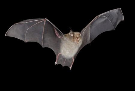 Photo for Horseshoe bat digital illustration , black background - Royalty Free Image