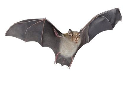 Foto de Digital illustration of a horseshoe bat flying - Imagen libre de derechos