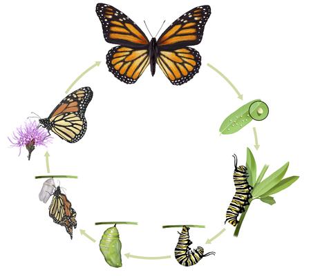 Foto de Digital illustration of a monarch butterfly life cycle - Imagen libre de derechos